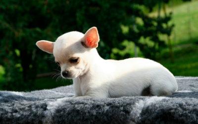 ¿Cómo es?: El Chihuahua